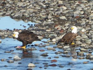 skagit guided birding tours bald eagles winter
