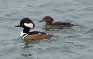 skagit guided birding tours hooded mergansers